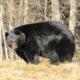 Барибал или Черный медведь: описание