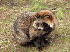 Енотовидная собака, енотовидная уссурийская лиса, енотка — или все-таки собака?