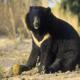 Гималайский медведь, по-другому белогрудый мишка — место проживание и образ жизни