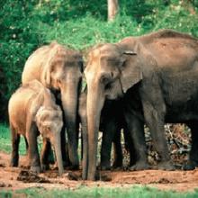 Индийский или азиатский слон: характеристика вида