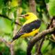 Иволга птица: как выглядит, где обитает и как поет обыкновенная иволга