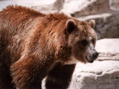 Какой медведь самый крупный в мире?