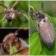 Какую пищу едят майские жуки в природе и в домашних условиях?
