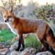 Лисица (лиса обыкновенная) — где живет, сколько живет, что едят