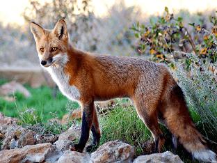 Лисица (лиса обыкновенная) - где живет, сколько живет, что едят