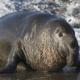 Морской слон описание для детей. Их нравы. Где обитают морские слоны?