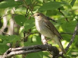 Обыкновенный соловей: описание, ареал обитания