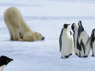 Охотятся ли белые медведи на пингвинов?