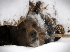 Почему медведь зимой спит: особенности и сроки спячки