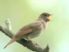 Птица соловей: как выглядит, где обитает и чем питается?