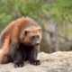 Росомаха — как выглядит животное, питание, образ жизни
