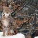Рысь животное. Образ жизни и среда обитания рыси