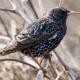 Скворец птица. Среда обитания и особенности скворца