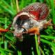 Всё о майском жуке или хруще: основная информация