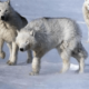 Белый полярный волк: интересные факты, описание жизни, где обитает арктический волк