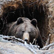 Кто такой медведь-шатун?