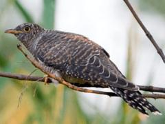 Кукушка птица: как выглядят самец, яйца и птенцы обыкновенной кукушки?