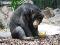 Малайский медведь. Образ жизни и среда обитания малайского медведя