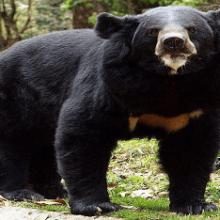 Медведь-губач — животное с необычной внешностью и странными повадками