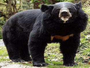 Медведь-губач - животное с необычной внешностью и странными повадками