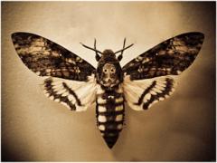 Мертвая голова: от гусеницы до бабочки