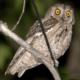 Обыкновенная сплюшка — описание, характеристики и среда обитания