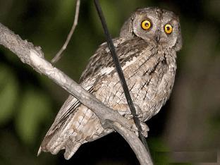 Обыкновенная сплюшка - описание, характеристики и среда обитания