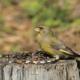 Обыкновенная зеленуха, птица зеленушка, её образ жизни и размножение