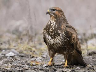 Обыкновенный канюк — описание, среда обитания