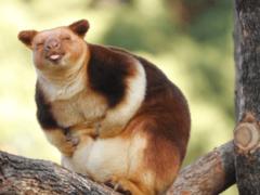 Очаровательные древесные кенгуру, которые вызовут вашу улыбку