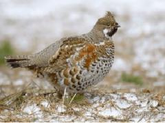 Птица рябчик обыкновенный: ареал, основные характеристики и особенности размножения, виды охоты
