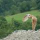 Сипуха птица. Образ жизни и среда обитания птицы сипухи