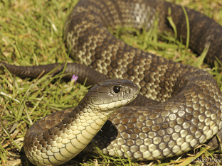 Тигровая змея - самая ядовитая из сухопутных гадов