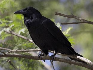 Ворон – описание, ареал, рацион, враги, популяция