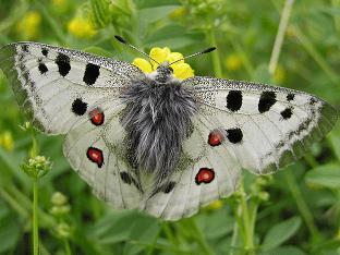 Бабочка аполлон: интересные факты и описание