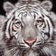 Бенгальский тигр — это… Что такое Бенгальский тигр?