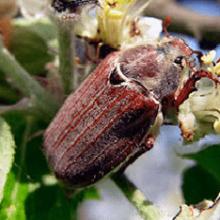 Что едят майские жуки: особенности жизненного цикла вредителя сада