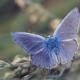Характер и образ жизни бабочки голубянки