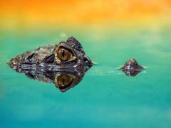 Какие органы дыхания характерны для крокодила?