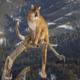 Описание пумы и ее жизнь в дикой природе