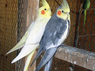 Попугаи кореллы: как содержать и ухаживать?