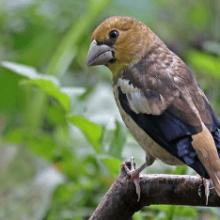 Птица дубонос и интересные факты о нем