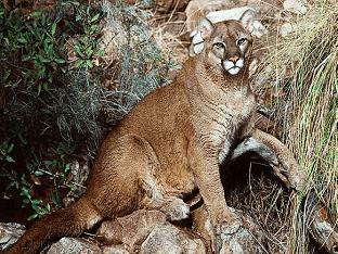 Пума животное. Образ жизни и среда обитания пумы