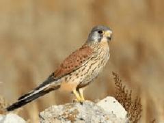 Пустельга обыкновенная: что известно науке об этой птице?