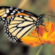 Самая красивая Бабочка Монарх
