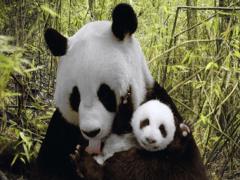 В какой стране живут панды, где они обитают?