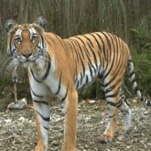 Яванский тигр жив? Описание вида