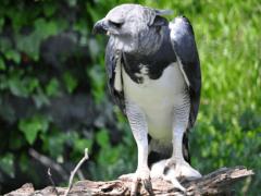 Южноамериканская Гарпия — самая сильная, птица в мире