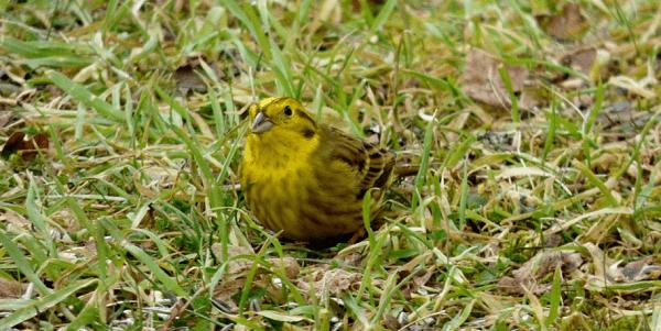 птица овсянка описание и фото для детей