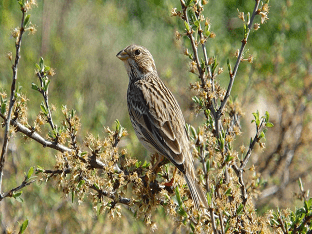 Птица овсянка: описание и фото для детей